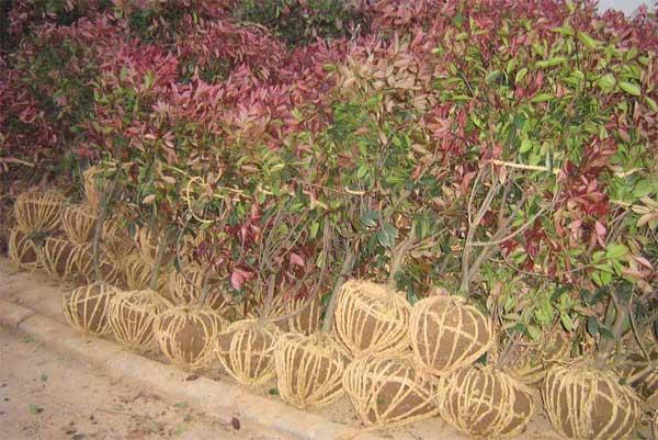 南京乾坤苗圃红叶石楠种植基地