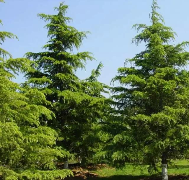 大型雪松苗木的移植和养护