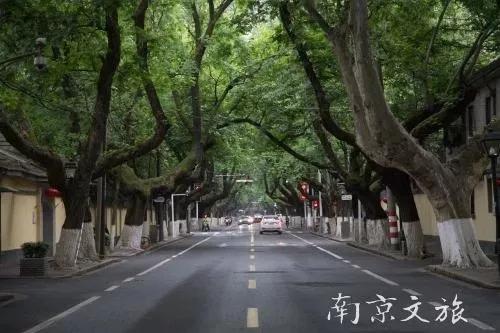 梧桐:我不是市树,真不是我