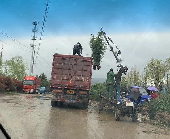 3米雪松装车发货河南郑州