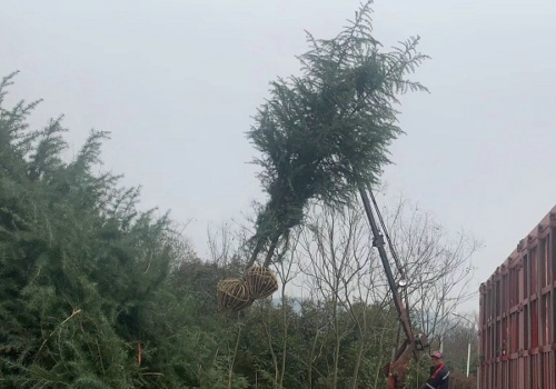 雪松大树枯死的原因及养护办法介绍