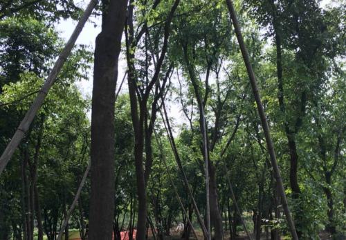 朴树病虫害防治方法有哪些